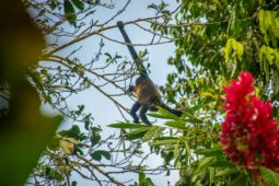 Howler Monkey at Yoga Retreat Center in Costa Rica